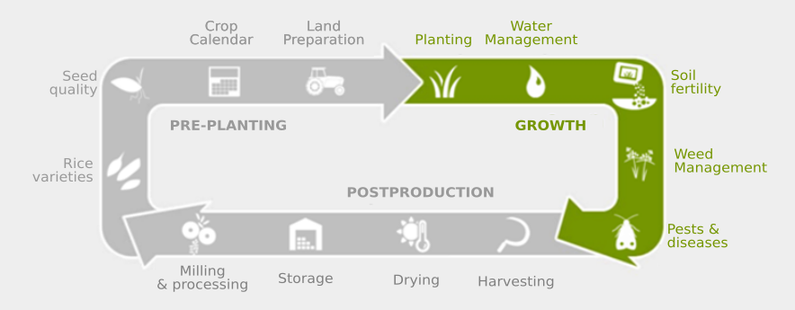 process of growing rice